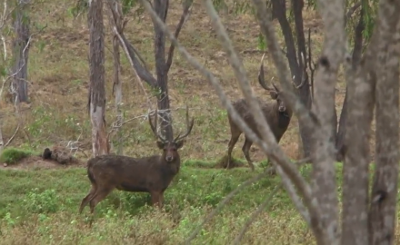Brittany Boddington has a go at two different species of Asian rusa deer in the Australian outback.