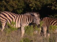 Eastern Cape Plains Zebra Hunt