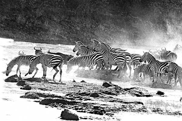 zebra_2
