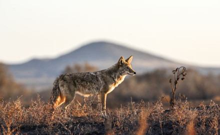 Hunters often think of coyotes as a nuisance, but in reality their presence benefits a lot of