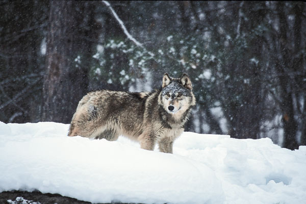 hounds_wolves_f