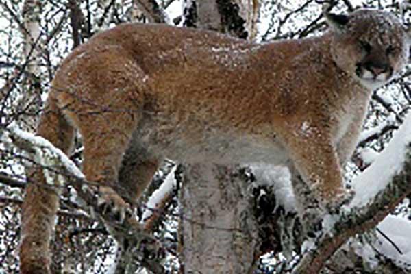 cougar puma newfoundland
