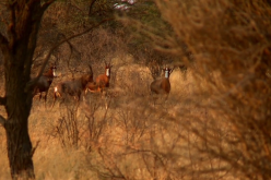 Walkabout Safari: Blesbok