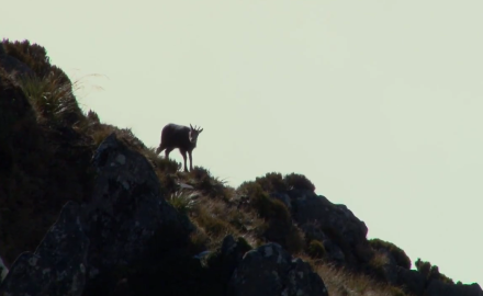 New Zealand is known for its red stag and tahr hunting, but for Brittany Boddington, an alpine