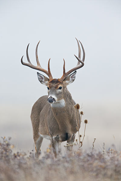 biggameforecast_whitetail
