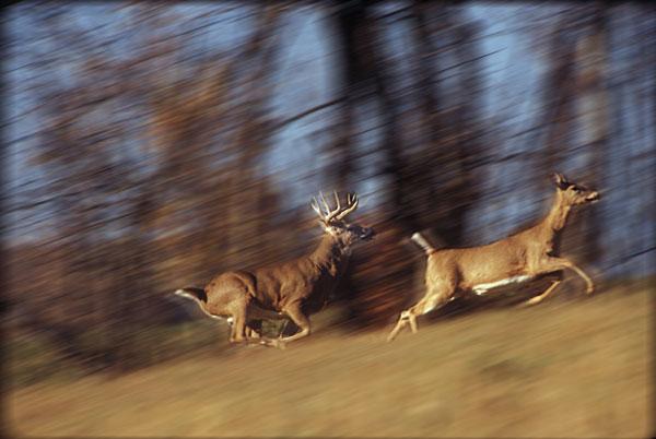 whitetail rut chasing