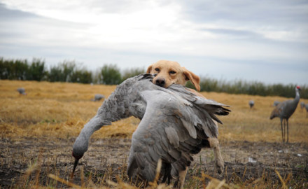 hunting saskatchewan sandhill crane