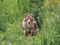Calling-eastern-coyotes