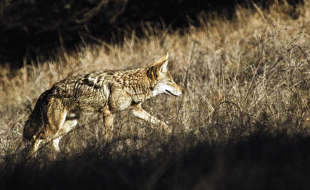 Hunting coyotes in different regions of the country can be a lot more challenging. Here's why.