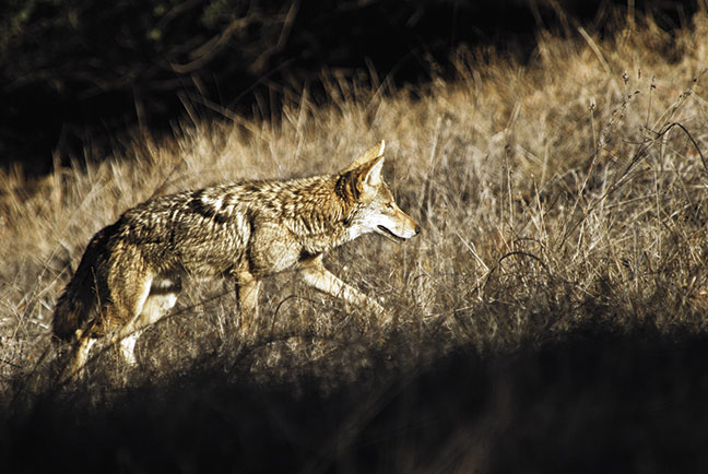 Are Eastern Coyotes Harder To Kill?