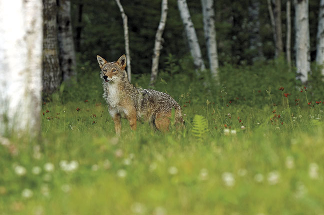 Hunting-the-eastern-coyote