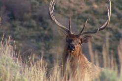 bugling elk in Utah