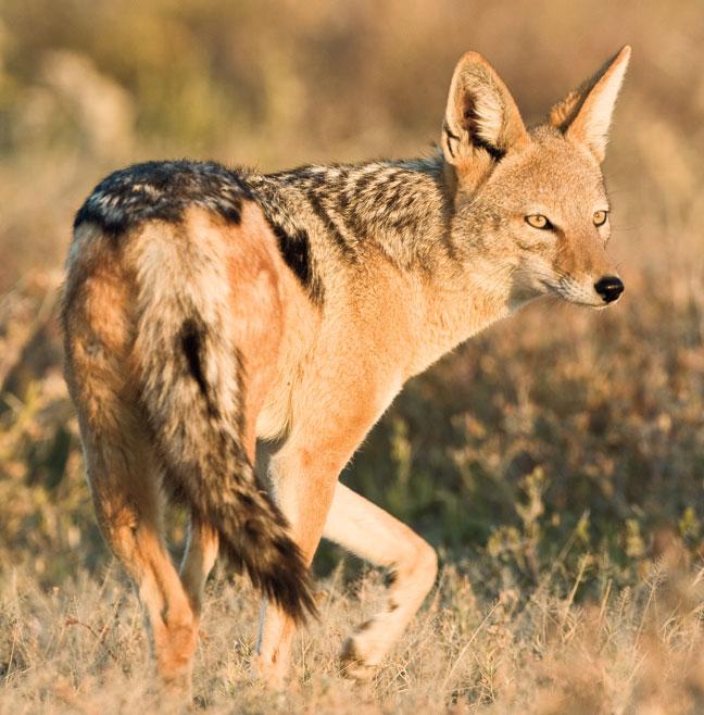 african-predator-hunting