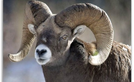 Bighorn-sheep-saved-by-hunters-conservation