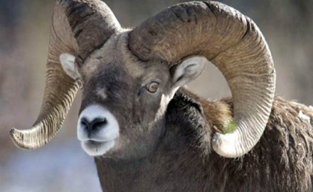 Bighorn-sheep-saved-by-hunters-conservation-featured