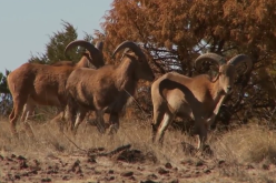 Hunt Desert Mountain Aoudad