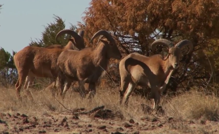Craig Boddington is gearing up to hunt desert mountain aoudad.  He's arrived in West Texas and is