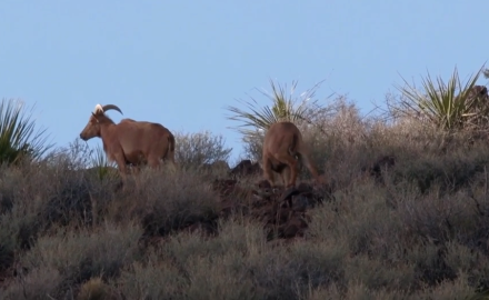 Hunting Aoudad in West Texas can be a challenge. And that's an understatement.  Petersen Hunting's