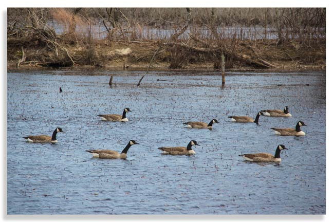 Waterfowl-conservation-by-hunters