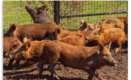 Depending on your chosen profession, you either love or hate feral pigs. This lack of middle ground
