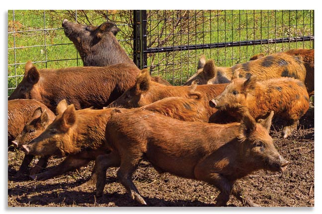 How to Effectively Control Wild Hogs