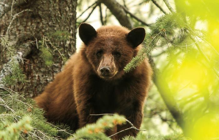 bear-hunt-idaho