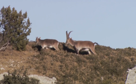 Brittany Boddington is after the Beceite Ibex, a wild goat that inhabits the mountains bordering