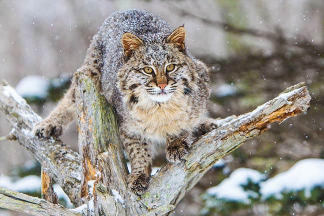 bobcat-vs-cougar