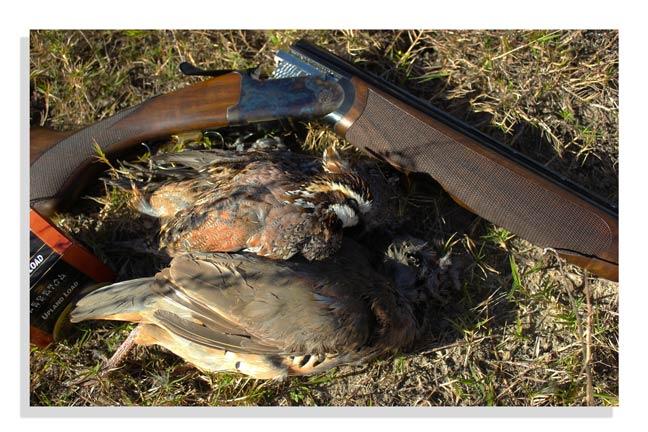 hunt-quail-in-texas
