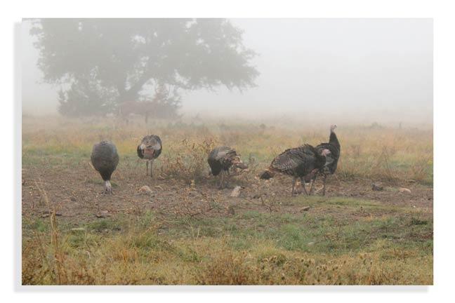 hunting-turkey-in-texas