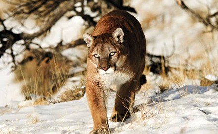 mountain-lions-east-of-mississippi