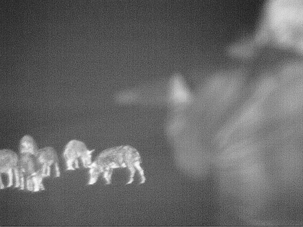 Here's a through-the-lens look at what a bunch of feral hogs feeding at night look like through the IR-HUNTER. Provided you approach from downwind, it's amazing how close you can get to animals at night using a device like this.