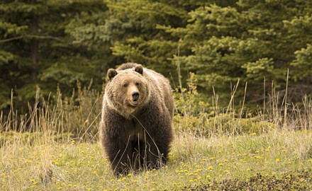 After more than four decades, the Yellowstone grizzly bear is being removed from the Endangered