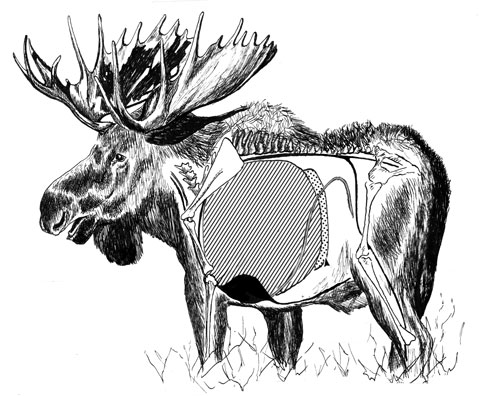 Moose: Everything You Need to Know to Hunt Them