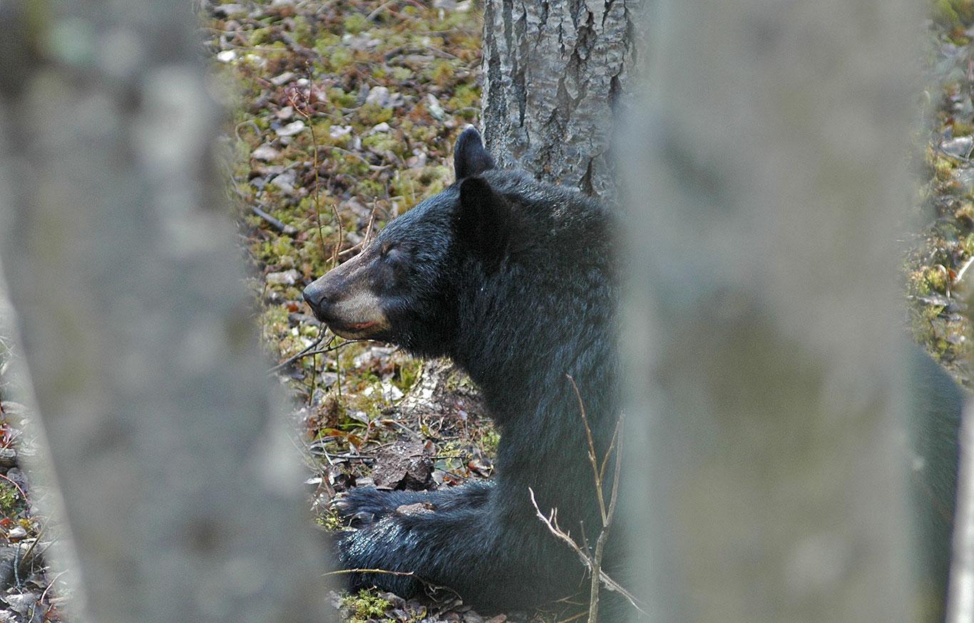 Saskatchewan-black-bear-hunting
