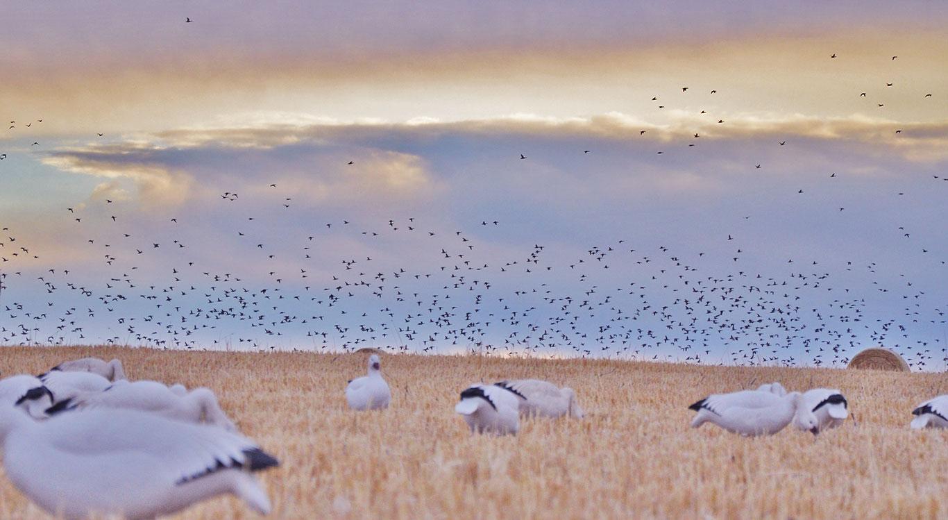 Saskatchewan-goose-hunting