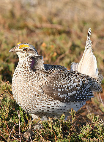 canada-destinations-hunting-manitoba-p2-upland-sharp-tailed-grouse