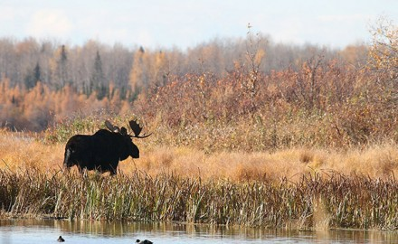 canada-destinations-hunting-manitoba-p4-moose