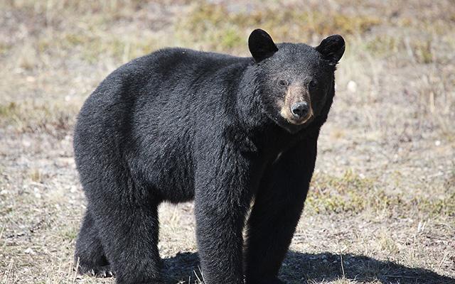 The Hunt for Manitoba's Big Bruins