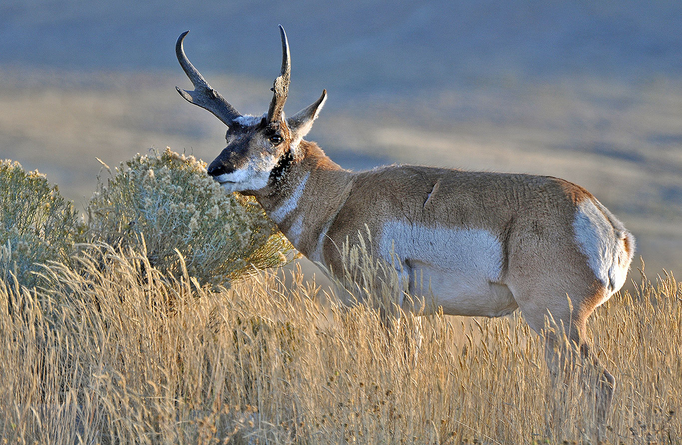 central-montan-pronghorn-antelope-hunting