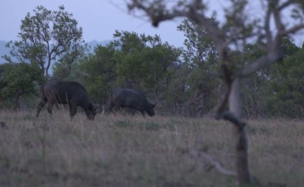 Steve Hornady is after his first Nile Buffalo, then pursues it in Uganda with Craig Boddington.