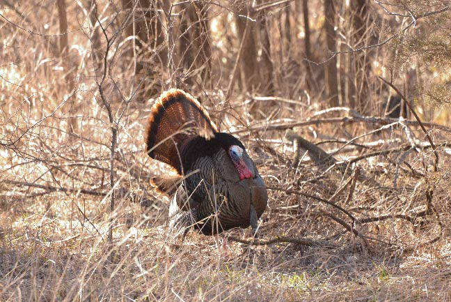 Deep-Woods Hunting For Pressured Turkeys