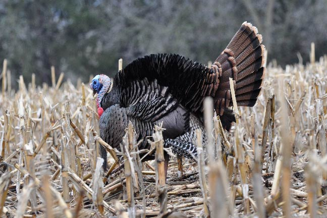 Best-States-for-Turkey-Hunting