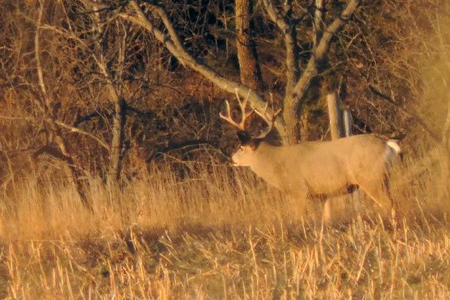 Mule-Deer-3