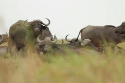African Forest Buffalo Hunt