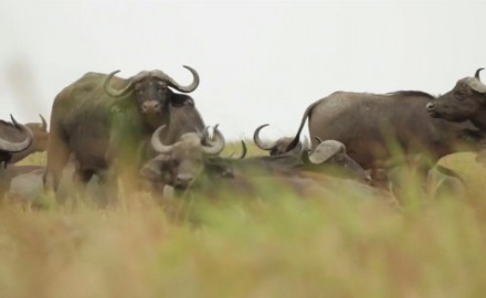 Craig Boddington takes aim at a buffalo in the swamps of Mozambique.