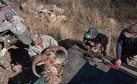 A hard-scrabble hunt for immigrant rams of the Chinati Mountains in Texas