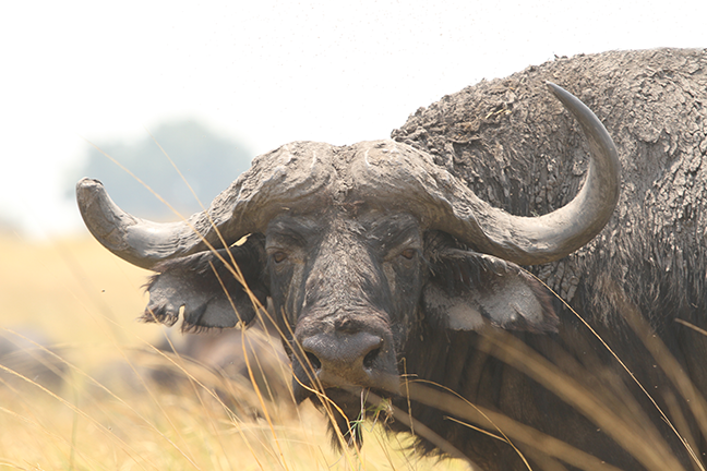 Namibia Cape buffalo
