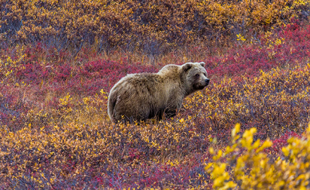 Grizzly Bear walking