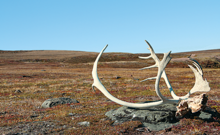 While the overall caribou population has declined, opportunities still exist for hunters to pursue these animals.